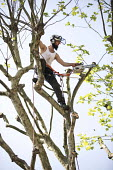 Tree surgeon with harness and chainsaw pruning a London plane tree, common to London they are referred to as the lungs of the city, their unique bark filters polluted air, East London - Jess Hurd - 08-05-2018