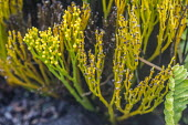 Big Island, Hawaii: Native Hawaiian plants in the lava field created by the previous eruption of Moana Ulu in 1969 - David Bacon - 01-03-2018