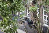Tree surgeon with harness pruning a London plane tree, common to London they are referred to as the lungs of the city, their unique bark filters polluted air, East London - Jess Hurd - 04-06-2018