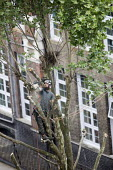 Tree surgeon with harness pruning a London plane tree, common to London they are referred to as the lungs of the city, their unique bark filters polluted air, East London - Jess Hurd - 2010s,2018,arborists,branch,branches,Broadleaf Tree,chainsaw,chainsaws,cities,City,climb,climbed,climbing,cut,cutting,cutting back,East London,EBF,Economic,Economy,employee,employees,Employment,enviro