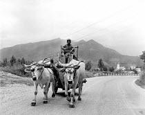 Italian farmer riding his cart to local market pulled by two Maremmana Cattle Tuscany, Italy 1958 - Romano Cagnoni - 13-05-1958