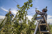 Washington, USA: migrant farm workers tying the branches of young apple trees to wires guiding their growth - David Bacon - 16-07-2018