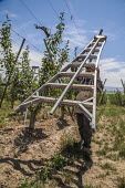 Washington, USA: migrant farm workers tying the branches of young apple trees to wires guiding their growth - David Bacon - 2010s,2018,agricultural,agriculture,apple,apples,BAME,BAMEs,BME,bmes,by hand,capitalism,capitalist,casual workers,Diaspora,diversity,EBF,Economic,Economy,employee,employees,Employment,ethnic,ethnicity