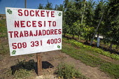 Washington, USA: Sign advertising for farm workers for the apple harvest: Sockeye - I need workers - David Bacon - 16-07-2018