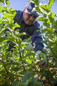 Wenatchee, USA: Farm workers weeding an apple seedlings nursery - David Bacon - 2010s,2018,agricultural,agriculture,apple,apples,BAME,BAMEs,BME,bmes,bush,by hand,capitalism,capitalist,casual workers,Diaspora,diversity,EBF,Economic,Economy,employee,employees,Employment,ethnic,ethn