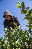 Wenatchee, USA: Farm workers weeding an apple seedlings nursery - David Bacon - 2010s,2018,adolescence,adolescent,adolescents,agricultural,agriculture,apple,apples,BAME,BAMEs,BME,bmes,bush,by hand,capitalism,capitalist,casual workers,Diaspora,diversity,EBF,Economic,Economy,employ