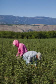 Wenatchee, USA: Farm workers weeding an apple seedlings nursery - David Bacon - 19-07-2018