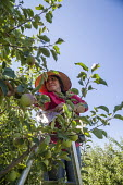 Wenatchee, USA: Farm workers weeding an apple seedlings nursery thining out the crop - David Bacon - 19-07-2018