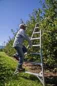 Wenatchee, USA: Farm workers weeding an apple seedlings nursery thining out the crop - David Bacon - 2010s,2018,agricultural,agriculture,apple,apples,BAME,BAMEs,BME,bmes,bush,by hand,capitalism,capitalist,casual workers,Diaspora,diversity,EBF,Economic,Economy,employee,employees,Employment,ethnic,ethn