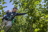 Wenatchee, USA: Farm workers weeding an apple seedlings nursery thining out the crop - David Bacon - 2010s,2018,adolescence,adolescent,adolescents,agricultural,agriculture,apple,apples,BAME,BAMEs,BME,bmes,boy,BOYS,bush,by hand,capitalism,capitalist,casual workers,child,CHILDHOOD,children,Diaspora,div