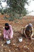 Occupied Palestinian Territories: Jaloud village, Shilo Valley, West Bank. Two Palestinian women picking olives: Keefah Aissa (in pink) and Wifah Aissa (in yellow) - Joanne O'Brien - , farming, harvest, harvesting,2010s,2013,age,ageing population,agricultural,agriculture,arab,arabs,by hand,crop,crops,EBF,Economic,Economy,elderly,employee,employees,Employment,FARM,farmed,farmers,fa