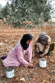 Occupied Palestinian Territories: Jaloud village, Shilo Valley, West Bank. Two Palestinian women picking olives: Keefah Aissa (in pink) and Wifah Aissa (in yellow) - Joanne O'Brien - 03-10-2013