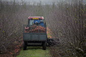 Mechanical Harvesting apples in an orchard, Vale of Evesham, Worcestershire - John Harris - 22-11-2018