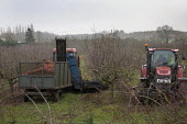 Mechanical Harvesting apples in an orchard, Vale of Eversham, Wocestershire - John Harris - 22-11-2018