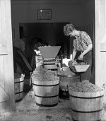 Harvesting grapes, Hambledon vineyard, Hampshire 1959. It was the first vineyard to be planted specifically to produce wine for sale since 1875 - so the planting of the Hambledon vineyard eight years... - Alan Vines - 10-09-1959