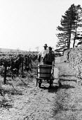 Harvesting grapes, Hambledon vineyard, Hampshire 1959. It was the first vineyard to be planted specifically to produce wine for sale since 1875 - so the planting of the Hambledon vineyard eight years... - Alan Vines - 1950s,1959,1st,agricultural,agriculture,alcohol,barrel,barrels,British,business,capitalism,capitalist,country,countryside,crop,crops,cultivation,EBF,Economic,Economy,employee,employees,Employment,Engl