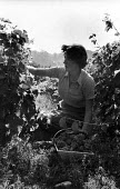 Harvesting grapes, Hambledon vineyard, Hampshire 1959. It was the first vineyard to be planted specifically to produce wine for sale since 1875 - so the planting of the Hambledon vineyard eight years... - Alan Vines - 1950s,1959,1st,agricultural,agriculture,alcohol,British,business,capitalism,capitalist,country,countryside,crop,crops,cultivation,EBF,Economic,Economy,employee,employees,Employment,English,English gra