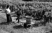 Harvesting grapes, Hambledon vineyard, Hampshire 1959. It was the first vineyard to be planted specifically to produce wine for sale since 1875 - so the planting of the Hambledon vineyard eight years... - Alan Vines - 1950s,1959,1st,agricultural,agriculture,alcohol,barrel,British,business,capitalism,capitalist,country,countryside,crop,crops,cultivation,EBF,Economic,Economy,employee,employees,Employment,English,Engl
