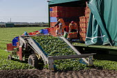 Bulgarian migrant workers harvesting spinach, Warwickshire - John Harris - 2010s,2019,agricultural,agriculture,bulgarian,bulgarians,by hand,capitalism,capitalist,casual workers,country,countryside,crate,crates,crop,crops,cut,cutter,cutters,cutting,Diaspora,EARNINGS,eastern E