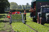 Bulgarian migrant workers harvesting spinach, Warwickshire - John Harris - 2010s,2019,agricultural,agriculture,bulgarian,bulgarians,by hand,capitalism,capitalist,casual workers,country,countryside,crop,crops,cut,cutter,cutters,cutting,Diaspora,EARNINGS,eastern European,easte