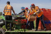 Bulgarian migrant workers harvesting spinach, Warwickshire - John Harris - 2010s,2019,agricultural,agriculture,bulgarian,bulgarians,by hand,capitalism,capitalist,casual workers,country,countryside,crate,crates,crop,crops,cut,cutter,cutters,cutting,Diaspora,driver,drivers,dri