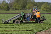 Bulgarian migrant workers harvesting spinach, Warwickshire - John Harris - 2010s,2019,agricultural,agriculture,bulgarian,bulgarians,by hand,capitalism,capitalist,casual workers,country,countryside,crop,crops,cut,cutter,cutters,cutting,Diaspora,driver,drivers,driving,EARNINGS