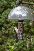 Immature Greater Spotted woodpecker on a birdfeeder - John Harris - 2010s,2019,animal,animals,bird,birds,ENI,environment,Environmental Issues,feed,feeding,feeds,garden,gardens,nature,nut,nuts,peanut,peanuts,wildlife