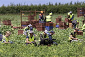 Romanian and Bulgarian migrant workers harvesting broad beans, Warwickshire - John Harris - 2010s,2019,agricultural,agriculture,beans,bulgarian,bulgarians,by hand,casual workers,crop,crops,Diaspora,EARNINGS,eastern European,eastern Europeans,EBF,Economic,Economy,employee,employees,Employment
