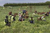 Romanian and Bulgarian migrant workers harvesting broad beans, Warwickshire - John Harris - 21-06-2019