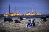 Valero Oil Refinery, Rhoscrowther, Pembroke, Pembrokeshire - Paul Box - 2010s,2019,agricultural,agriculture,capitalism,cattle,chimney,chimneys,coast,coastal,coasts,cow,cows,Domesticated Ungulate,domesticated ungulates,EBF,Economic,Economy,field,fields,herd,Industries,indu