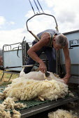 Shearing a flock of Ryeland sheep on a small farm in Worcestershire - John Harris - 11-07-2019