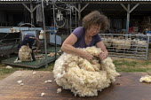 Shearing a flock of Ryeland sheep on a small farm in Worcestershire. Folding and rolling a fleece - John Harris - 2010s,2019,agricultural,agriculture,animal,animals,by hand,capitalism,capitalist,cut,cutter,cutters,cutting,Domesticated Ungulates,EBF,Economic,Economy,employee,employees,Employment,ewe,ewes,farm,farm