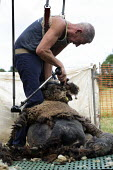 Shearing a flock of Ryeland sheep on a small farm in Worcestershire, Coloured Ryland - John Harris - 2010s,2019,agricultural,agriculture,animal,animals,back support,by hand,capitalism,capitalist,cut,cutter,cutters,cutting,Domesticated Ungulates,EBF,Economic,Economy,employee,employees,Employment,ewe,e