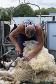 Shearing a flock of Ryeland sheep on a small farm in Worcestershire - John Harris - 2010s,2019,agricultural,agriculture,animal,animals,back support,by hand,capitalism,capitalist,cut,cutter,cutters,cutting,Domesticated Ungulates,EBF,Economic,Economy,employee,employees,Employment,ewe,e