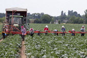 Gangmaster and migrant workers harvesting courgettes, Warwickshire - John Harris - 16-07-2019