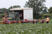 Gangmaster and migrant workers harvesting courgettes, Warwickshire - John Harris - 2010s,2019,agricultural,agriculture,bulgarian,bulgarians,by hand,capitalism,courgettes,crop,crops,EARNINGS,EBF,Economic,Economy,employee,employees,Employment,employment agencies,employment agency,farm