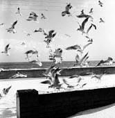 Seagulls on the seafront Aldeburgh Suffolk 1958 - Kurt Hutton - 1950s,1958,animal,animals,bird,birds,coast,coastal,coasts,environmental Issues,flight,FLIGHTS,flying,gull,gulls,Leisure,LFL,LIFE,movement,OCEAN,PEOPLE,RECREATION,RECREATIONAL,sea,seabird,seabirds,seaf