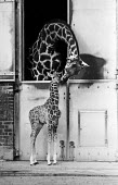 Baby giraffe called Steve, London Zoo 1985 - NLA - 31-01-1985