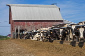 Three Oaks, Michigan, USA: Cows feeding at a small dairy farm - Jim West - agricultural,agriculture,America,american,americans,animal,animals,barn,building,buildings,capitalism,cattle,cow,cows,dairy,dairy cows,dairy farm,domesticated ungulates,eating,EBF,Economic,Economy,far