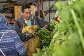 Michigan, USA: Workers packing the celery harvest on a farm - Jim West - 24-09-2019