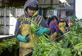 Michigan, USA: Workers packing the celery harvest on a farm - Jim West - 2010s,2019,agricultural,agriculture,America,BAME,BAMEs,BME,bmes,by hand,capitalism,casual workers,celery,crop,crops,Diaspora,diversity,EARNINGS,EBF,Economic,Economy,employee,employees,Employment,ethni