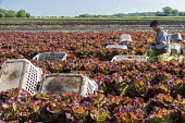 Michigan, USA: Workers harvesting red leaf lettuce from a field - Jim West - 2010s,2019,agricultural,agriculture,America,BAME,BAMEs,BME,bmes,by hand,capitalism,casual workers,crop,crops,Diaspora,diversity,EARNINGS,EBF,Economic,Economy,employee,employees,Employment,employment a