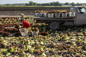Michigan, USA: Workers harvesting red leaf lettuce from a field - Jim West - 2010s,2019,agricultural,agriculture,America,BAME,BAMEs,BME,bmes,by hand,capitalism,capitalist,casual workers,crop,crops,Diaspora,diversity,EARNINGS,EBF,Economic,Economy,employee,employees,Employment,e
