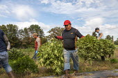 Michigan, USA: Workers harvesting hemp at the Paw Paw Hemp Company. Many American farmers harvested their first crop in 2019 after growing hemp was legalized by the 2018 federal farm bill. - Jim West - 1st,2010s,2019,Agency,agricultural,agriculture,America,American,americans,BAME,BAMEs,BME,bmes,by hand,cannabidiol,cannabis,cannabis sativa,capitalism,casual workers,CBD,crop,crops,Diaspora,diversity,D