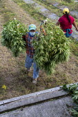 Michigan, USA: Workers harvesting hemp at the Paw Paw Hemp Company. Many American farmers harvested their first crop in 2019 after growing hemp was legalized by the 2018 federal farm bill. - Jim West - 10-10-2019