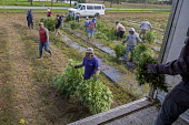 Michigan, USA: Workers harvesting hemp at the Paw Paw Hemp Company. Many American farmers harvested their first crop in 2019 after growing hemp was legalized by the 2018 federal farm bill. - Jim West - 1st,2010s,2019,Agency,agricultural,agriculture,America,American,americans,BAME,BAMEs,BME,bmes,by hand,cannabidiol,cannabis,cannabis sativa,capitalism,capitalist,casual workers,CBD,crop,crops,Diaspora,
