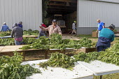 Michigan, USA: Workers harvesting hemp at the Paw Paw Hemp Company. Workers stringing the plants on cords and take them to the barn to dry. Many American farmers harvested their first crop in 2019 aft... - Jim West - 10-10-2019