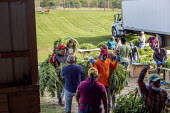 Michigan, USA: Workers harvesting hemp at the Paw Paw Hemp Company. Workers stringing the plants on cords and take them to the barn to dry. Many American farmers harvested their first crop in 2019 aft... - Jim West - 1st,2010s,2019,Agency,agricultural,agriculture,America,American,americans,BAME,BAMEs,BME,bmes,by hand,cannabidiol,cannabis,cannabis sativa,capitalism,casual workers,CBD,crop,crops,Diaspora,diversity,D