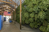 Michigan, USA: Hemp plants hanging to dry in a barn, Paw Paw Hemp Company. Many American farmers harvested their first crop in 2019 after growing hemp was legalized by the 2018 federal farm bill - Jim West - 10-10-2019
