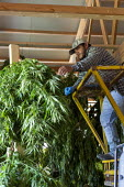 Michigan, USA: Workers harvesting hemp at the Paw Paw Hemp Company. Workers hanging the plants in a barn to dry. Many American farmers harvested their first crop in 2019 after growing hemp was legaliz... - Jim West - 1st,2010s,2019,Agency,agricultural,agriculture,America,American,americans,BAME,BAMEs,barn,BME,bmes,by hand,cannabidiol,cannabis,cannabis sativa,capitalism,capitalist,casual workers,CBD,crop,crops,Dias